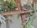 Koala-im-Nationalpark-auf-Maggie-Island