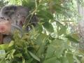 Weiterer-Koala-im-Nationalpark-auf-Maggie-Island